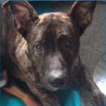 Smukke Tyson - HAR FUNDET hans Forever Familie igennem HAPPY DOGS