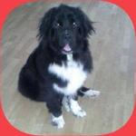 Den dejligste Lulu på 18 md - New foundlænder basse - har fundet ny kærlig familie, igennem Happy Dogs